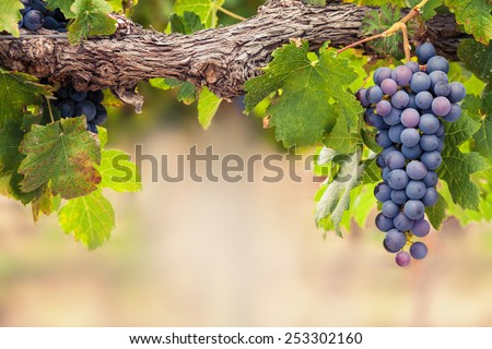 Single bunch of Shiraz grapes on vine - stock photo