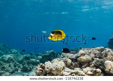 Single butterfly fish swims across a shallow water coral reef - stock photo