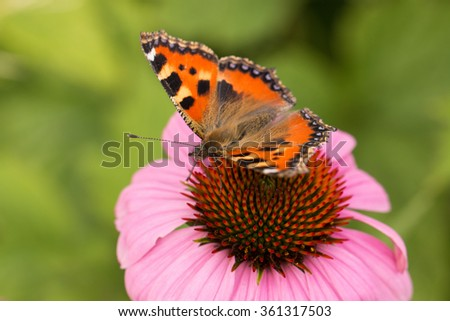 single butterfly sitting on echinacea cone flower in the rural garden
