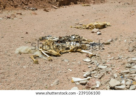 single camel bone in the desert - stock photo
