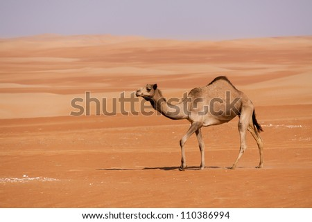 Single camel walking through the sand dunes in the United Arab Emirates