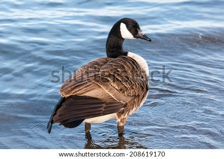 Single Canada goose with ruffled feathers standing in shallow water. - stock photo