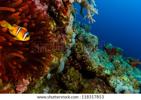 Single Clownfish next to its Red Anemone on a coral reef wall in the Red Sea