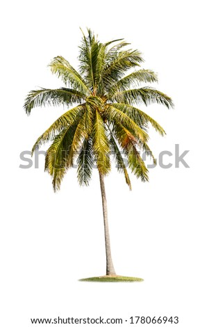 single coconut tree isolated on white background
