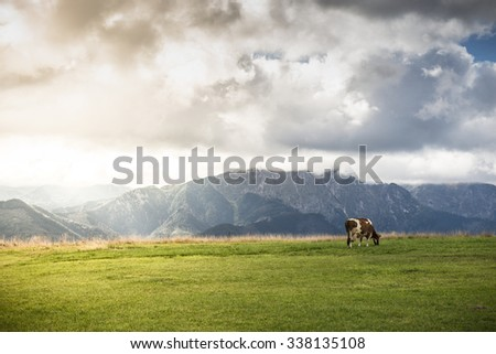 Single cow on green field or meadow and mountain landscape - stock photo