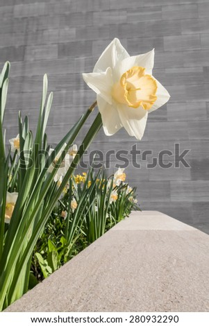 Single daffodil against granite wall - portrait exterior - stock photo