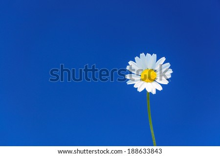 Single daisy against dark blue sky, selective focus, copyspace available, right third composition