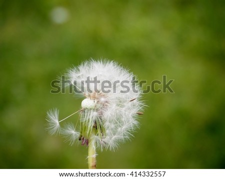 Single dandelion on a green grass