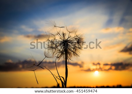 single dandelion on sunset sky background