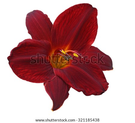 Single dark red daylily flower head isolated on white background - stock photo