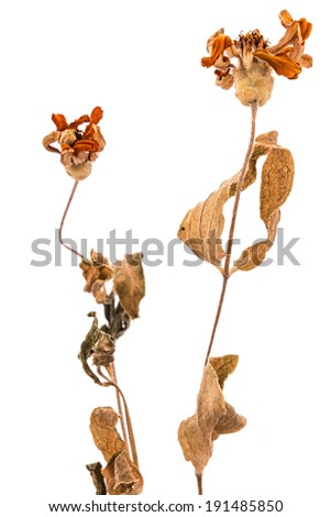 Single dead plant isolated - stock photo