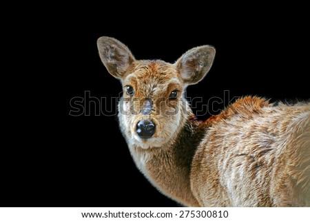 Single Deer at Nara Park Japan on Black Background - stock photo