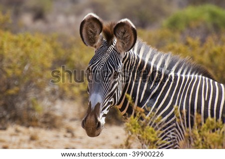 single detail of a grevys zebra in the setting sun on safari in the samburu national park ,kenya