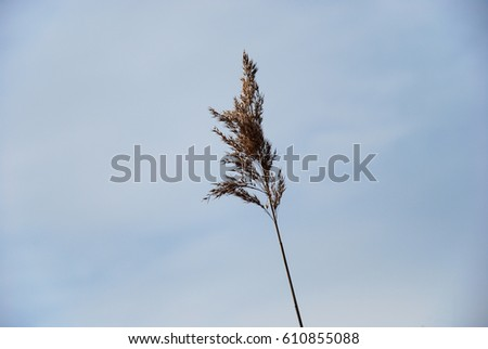 Single dry fluffy reed flower by a blue sky