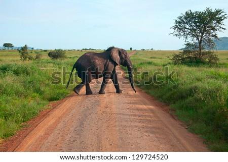 Single elephant walking on a road - stock photo