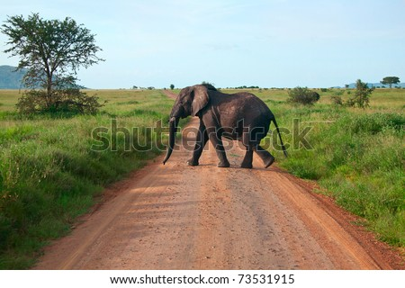 Single elephant walking on a road - stock photo