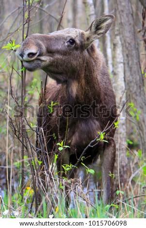 Eurasian elk - photo#31