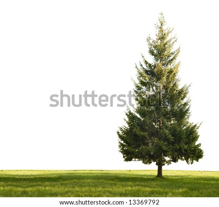 single fir and green grass isolated on white background - stock photo