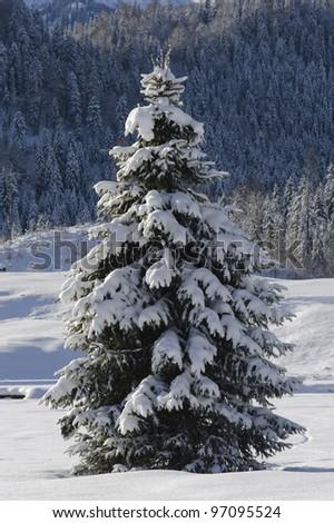 single fir tree in winter - stock photo