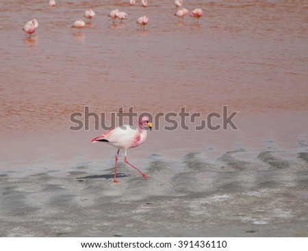 Single flamingo feeding at a lake in Bolivia