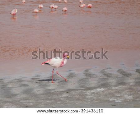 Single flamingo feeding at a lake in Bolivia - stock photo