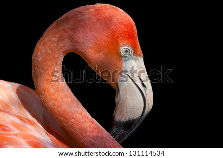 Single flamingo, head and neck shot, isolated on a black background