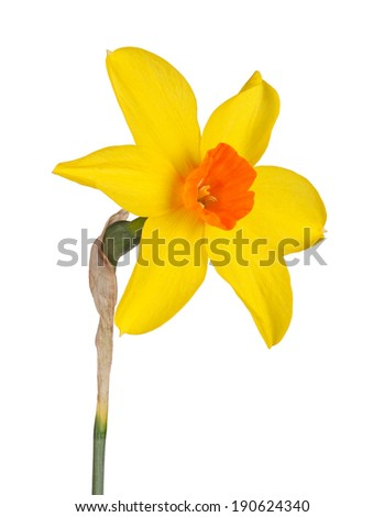 Single flower and stem of the yellow and red, small-cup daffodil cultivar Starbrook isolated against a white background - stock photo