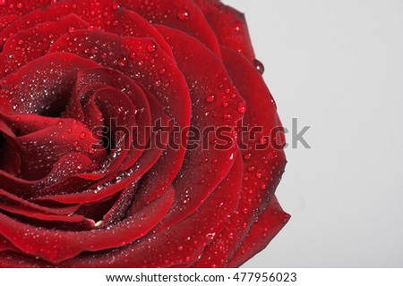 Single flower. Fresh red rose with drops of dew.