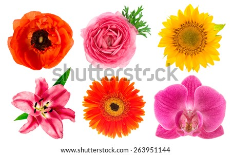 Single flower heads. Lily, orchid, ranunculus, sunflower, gerber, anemone isolated on white background. Scrapbook objects - stock photo