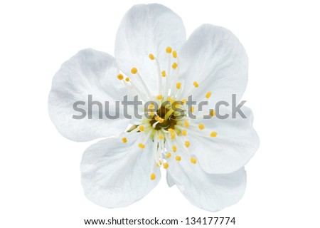 Single flower of cherry.  Isolated on white background