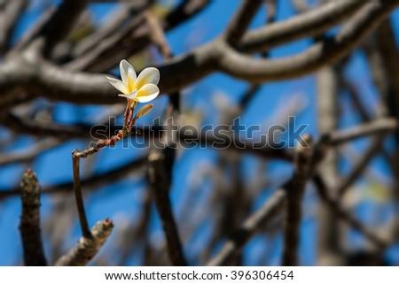 Single flower of Plumeria (Frangipani) on tree - stock photo