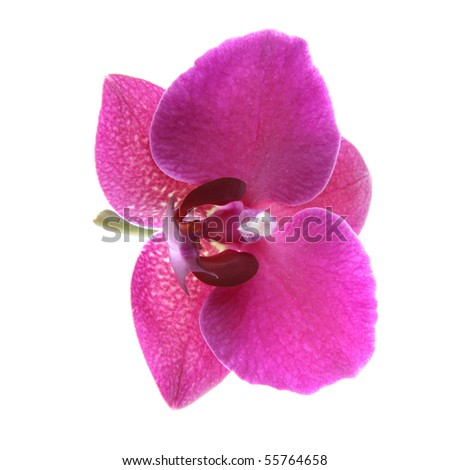 Single flower of Purple Orchid over white