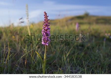 Single fragrant orchid (Gymnadenia conopsea) among low vegetation at coastal area in Helgeland archipelago, Norway. It's Near threatened species at National Red List.  - stock photo
