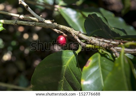 Single fresh coffee fruit on ecological farm - stock photo