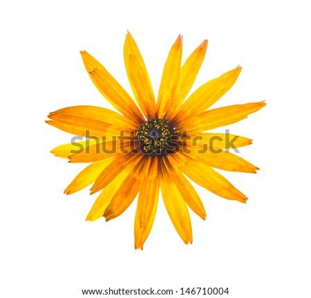 single fresh echinacea flower, closeup  - stock photo