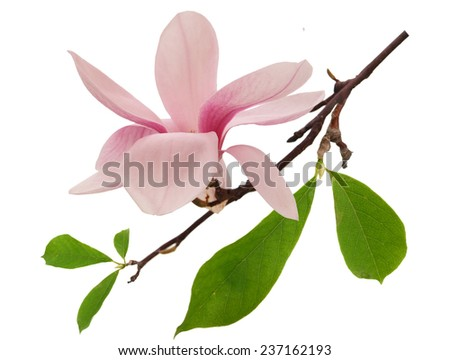 Single fresh magnolia flower isolated on white