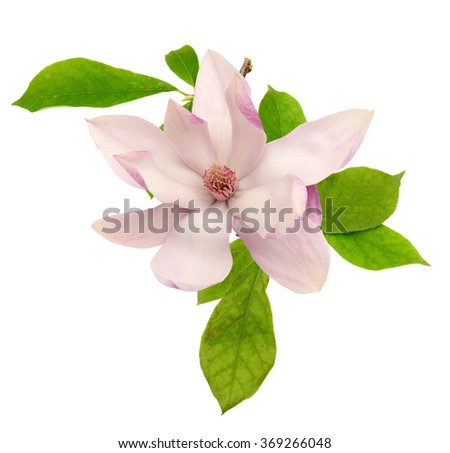 Single fresh magnolia flower isolated on white - stock photo