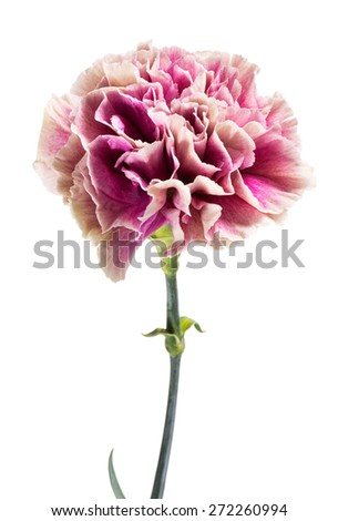 Single fresh pink carnation in full bloom isolated on a white background in close up view