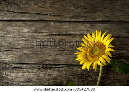 Single fresh yellow sunflower, or Helianthus, lying to the right hand side on old weathered cracked rustic wood boards with copyspace. - stock photo
