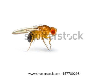 Single fruit fly (drosophila melanogaster) on white background - stock photo