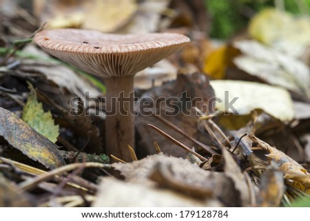 single fungus in autumn forest with leaves  - stock photo