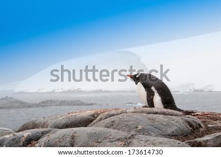 Single Gentoo Penguin Antarctica - stock photo
