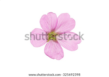 Single Geranium weed flower on pure white background.