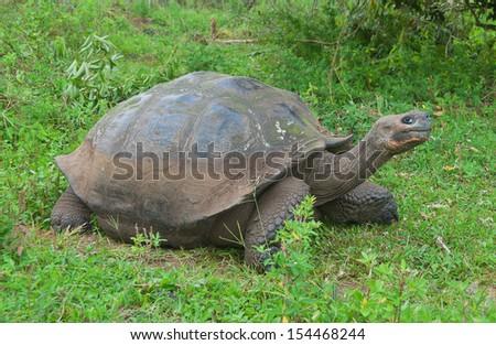 Single giant Galapagos tortoise. - stock photo