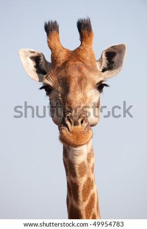 Single giraffe (Giraffa camelopardalis) in nature reserve in South Africa - stock photo