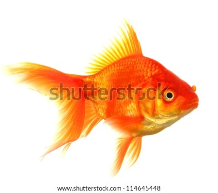single goldfish animal isolated on white background - stock photo