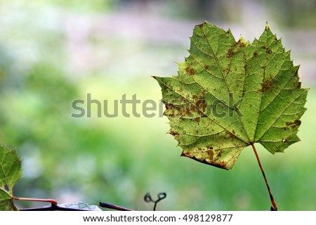 Single Grapes leaf on on a green background with copy space, selective focus.
