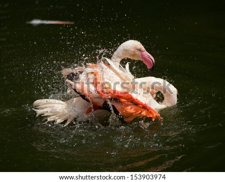 Single Greater Flamingo  (Phoenicopterus roseus) cleaning its feathers in the water - stock photo