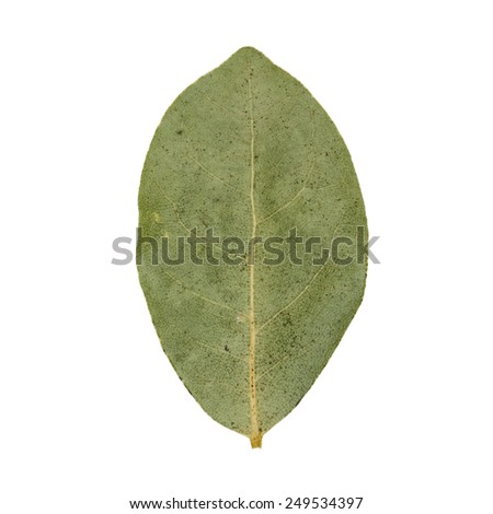 Single green dried bay leaf isolated on white background