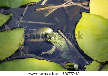 Single Green Frog Over Green Leaves in Pond - stock photo